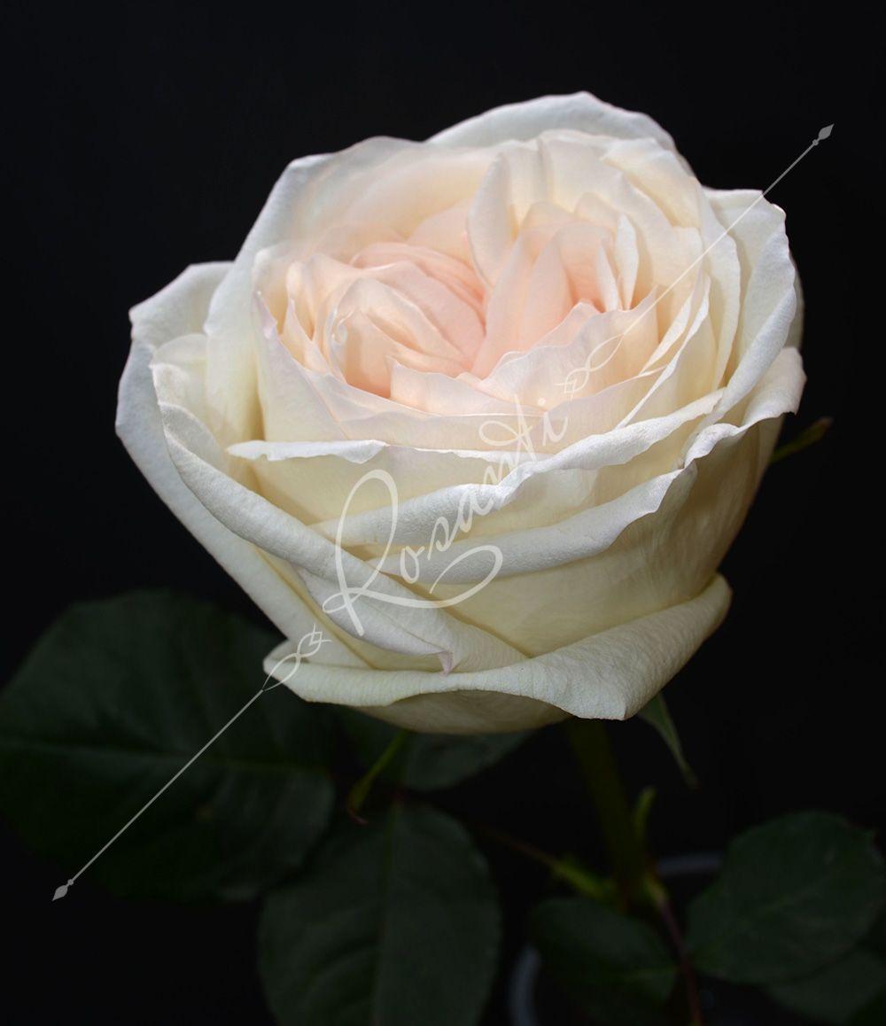 WHITE O HARA